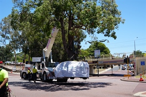 New home for iconic Kurrajong tree